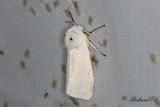 Vit tigerspinnare - Water Ermine (Spilosoma urticae)