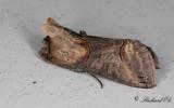 Brungult nässelfly - Dark Spectacle (Abrostola triplasia)