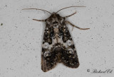 Vitbandat nejlikfly - Varied Coronet (Hadena compta)