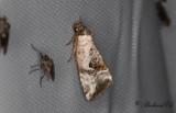 Mindre glansfly - Rosy Marbled (Elaphria venustula)