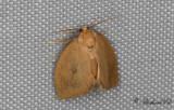 Mindre snigelspinnare - The Triangle (Heterogenea asella)