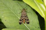 Skorpionsländor (Panorpidae)