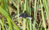 Svävflugor (Bombyliidae)