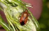 Skinnbaggar (Heteroptera)