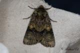 Ligusterfly - The Coronet (Craniophora ligustri)