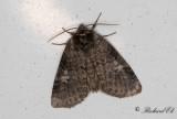 Poppelblekmaskspinnare - Poplar lutestring (Tethea or)
