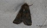Rödskimrande ängsfly - Tawny Marbled Minor (Oligia latruncula)