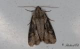 Ormängsfly - Double Lobed (Lateroligia ophiogramma)