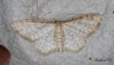 Benfärgad lövmätare (Idaea fuscovenosa)