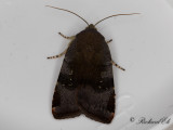 Brunviolett bandfly - Lesser Broad-bordered Yellow Underwing (Noctua janthe)