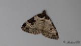 Svartfläcksfältmätare - Garden Carpet (Xanthorhoe fluctuata)