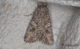 Klöverfly - Nutmeg (Anarta trifolii)