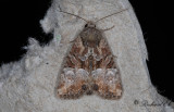Tvåfärgat ängsfly - Cloaked Minor (Mesoligia furuncula)