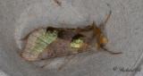 Grönglänsande metallfly - Burnished Brass (Diachrysia chrysitis)