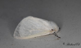 Videspinnare - White Satin Moth (Leucoma salicis)