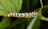 Flenörtskapuschongfly - Water Betony (Cucullia scrophulariae)
