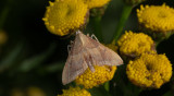 Krattmott (Endotricha flammealis)