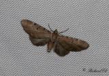 Absintmalmätare - Wormwood Pug (Eupithecia absinthiata)