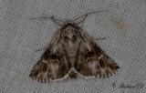 Gulsporrefly - Toadflax Brocade (Calophasia lunula)