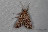 Ljungjordfly - True Lover's Knot (Lycophotia porphyrea)