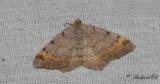 Tallbågmätare (Macaria liturata)
