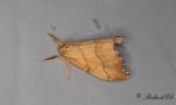 Tandad sikelvinge - Scalloped Hook-tip (Falcaria lacertinaria)