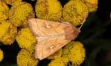 Vitfläckat gräsfly - Brown-line Bright-eye (Mythimna conigera)