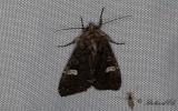 Vitfläckigt lundfly - Dot Moth (Melanchra persicariae)