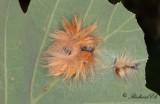 Lönnaftonfly - The Sycamore (Acronicta aceris)