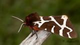 Brun björnspinnare - Great/Garden Tiger Moth (Arctia caja)