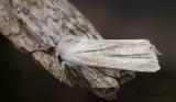 Lansettvinge - Reed Dagger (Simyra albovenosa)