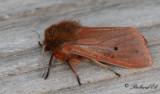 Rostvinge - Ruby Tiger (Phragmatobia fuliginosa)