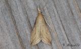 Saxsävmott (Donacaula forficella)