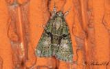 Grönt lavfly - Tree-lichen Beauty (Cryphia algae)