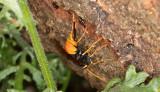 Steklar (Hymenoptera)