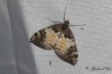 Bredbandad fältmätare - Siberian Carpet (Dysstroma latefasciata)