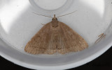 Gulgrått tofsfly - The Fan-foot (Herminia tarsipennalis)