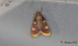 Högstjärtsmott (Hypsopygia costalis)