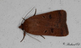 Leverbrunt bandfly - Lesser Yellow Underwing (Noctua comes)