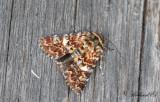 Ljunghedfly - Beautiful Yellow Underwing (Anarta myrtilli)