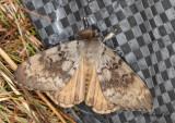Lövskogsnunna - Gypsy Moth (Lymantria dispar)