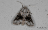Mindre lundfly - Broad-barred White (Hecatera bicolorata)