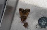 Farinmjölmott (Pyralis farinalis)