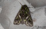 Mållfly - Orache Moth (Trachea atriplicis)