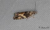 Mångformig aspvecklare (Epinotia nisella)