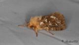 Ormbunksrotfjäril - Map-winged Swift (Korscheltellus fusconebulosus)