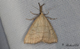Palpsprötfly (Polypogon tentacularia)