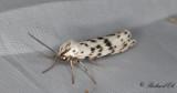 Punkthedspinnare - Speckled Footman (Coscinia cribraria)