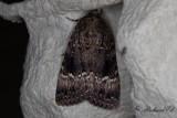 Pyramidbuskfly - Copper Underwing (Amphipyra pyramidea)