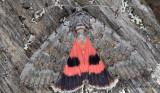 Rosenryggat ordensfly (Catocala pacta)